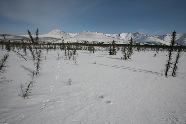 WHITE MOUNTAINS, AK - Snowshoe hare tracks through the burnt trees. Mostly black spruce.