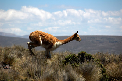 CHACHANI, PERU: The only wildlife of the trip a heard of guanaco (Lama guanicoe) as we cross the 4,000m mark.